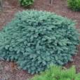 Ель колючая 'Waldbrunn' 15-20 см