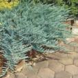 Можжевельник горизонтальный 'Blue Chip' 20-25 см