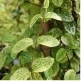 Жимолость японская 'Aureoreticulata' 20-30 см