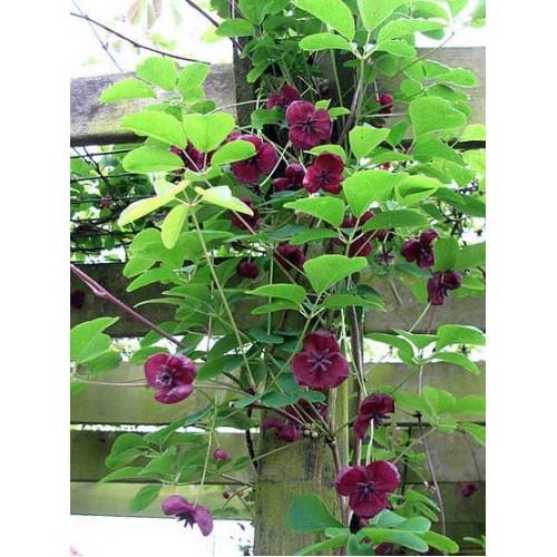 Акебия выращивание и уход на даче 9
